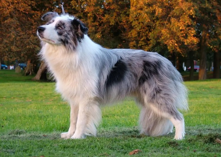 The Blue Merle Border Collie 5 Things You Didnt Know
