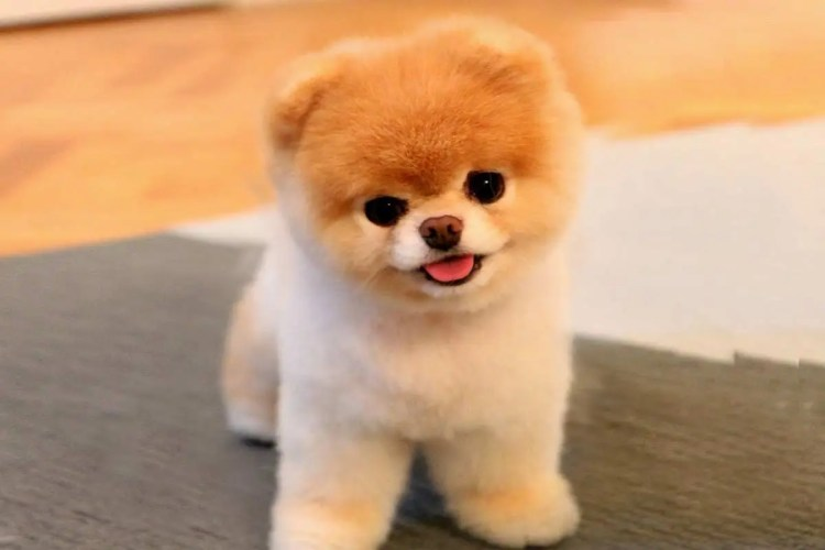 150dbccbb9a3 20 Fun Facts You Didn't Know About Boo: The World's Cutest Dog