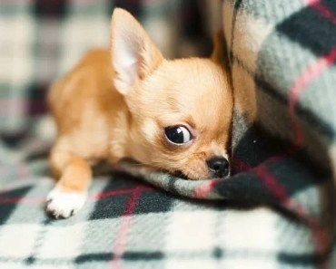 The Reason Why Small Dogs Can be so Fierce