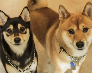Five Things You Didn't Know about the Shiba Inu Husky Mix