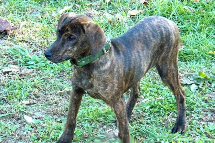10 Things You Didnt Know About The Treeing Tennessee Brindle