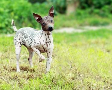 10 Things You Didn't Know About the American Hairless Terrier