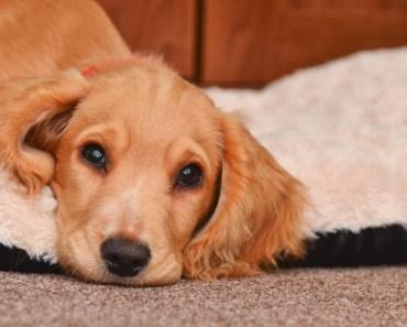 FDA Says Dog Heart Disease May Be Linked to Potato-Based Pet Food