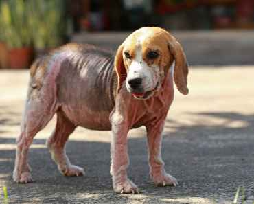 What is Puppy Pyoderma and How is it Treated?