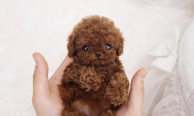 10 Things You Didnt Know About The Teacup Poodle Puppy Toob