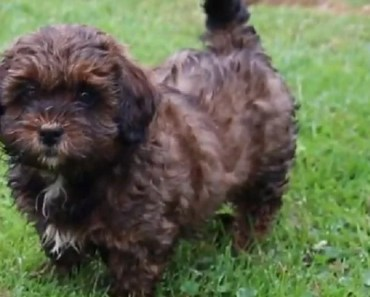 10 Tips for Taking Care of Shih Poo Puppies