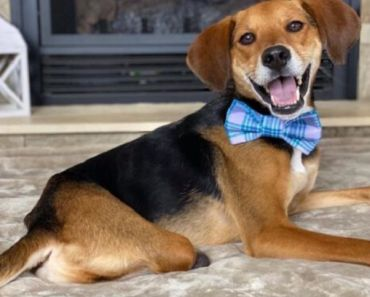 Beagle Becomes an Inspiration After Heartbreaking Abuse