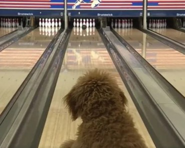 Goldendoodle Is the New Star of a Local Bowling Alley