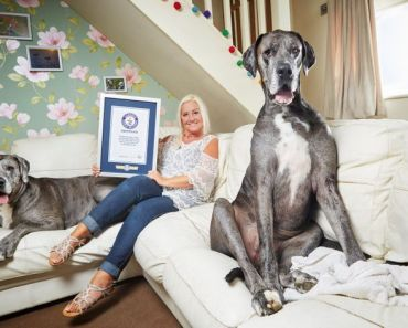 Freddy The Great Dane, World's Tallest Dog, Dies at 8