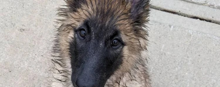 10 Things You Didn't Know about The Belgian Tervuren