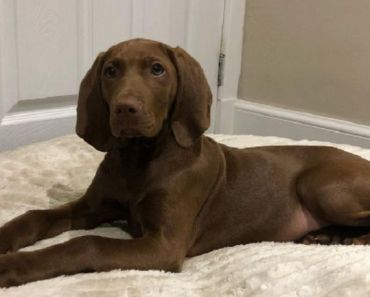 10 Things You Didn't Know About the Vizmaraner