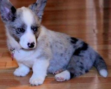 10 Things You Didn't Know about The Corgipoo