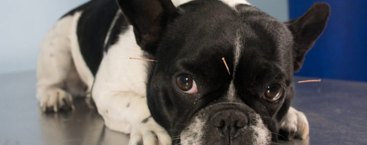Can Acupuncture Help Your Dog During Illness?