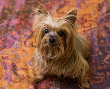 10 Things You Didn't Know about The Paisley Terrier