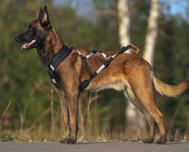 10 Things You Didn't Know about the Malinois X