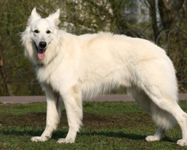 10 Things You Didn't Know about The American White Shepherd