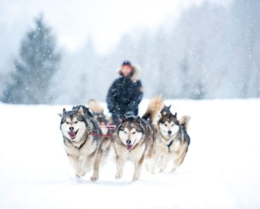 A List of the Top Five Sled Dog Breeds