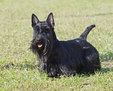 10 Things You Didn't Know about The Scottish Terrier