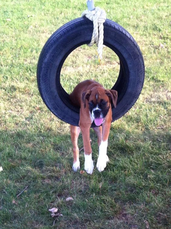 Boxer Dogs Doing Funny Things : boxer, doing, funny, things, Hilarious, Photos, Prove, Boxers, Weirdest, PupsToday
