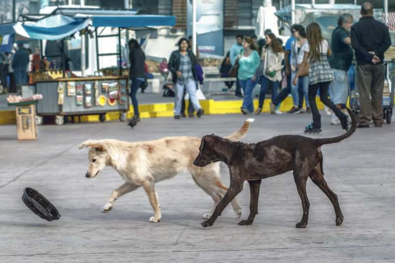 Stray Dogs Playing with a Container Chile Lab black golden