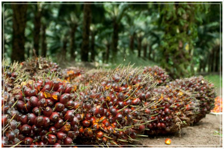 kelapa sawit super