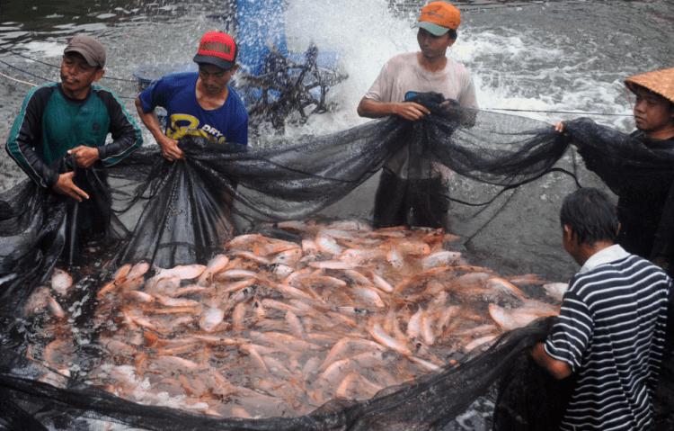 cara sukses budidaya ikan nila