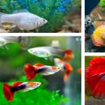 Ikan Hias Air Tawar