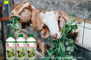 vitamin pakan ternak kambing