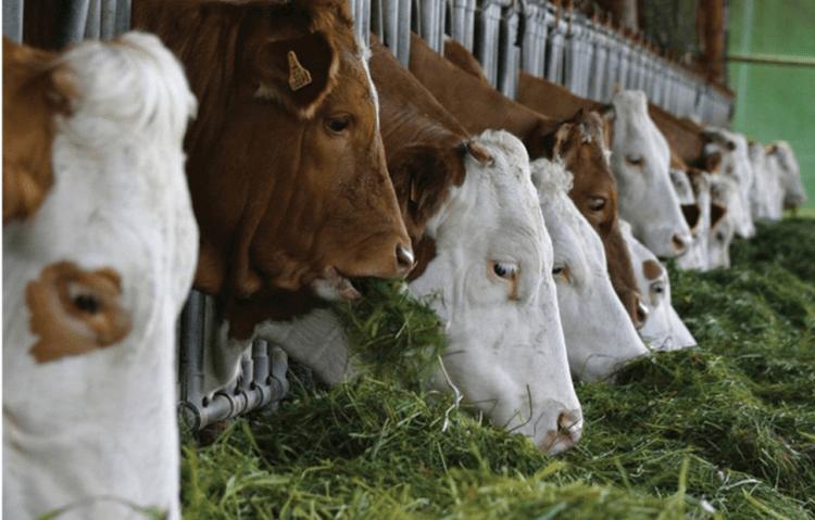 viterna vitamin sapi