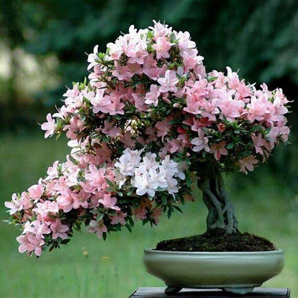 Cara Tanam Bibit bunga Sakura