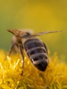 Blütenkopf mit Biene