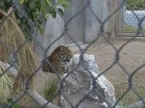 or the Jaguar
