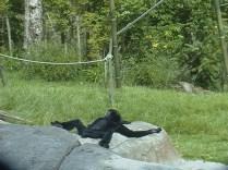 Chimpanzee Basking