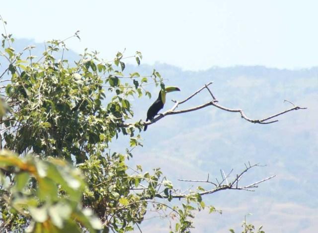 costa-rican-bird