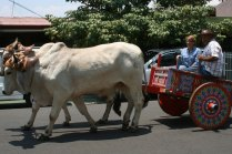 costa-rica-ox-cart-parade-atenas-8