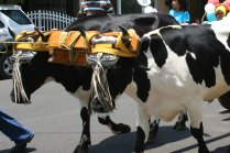 costa-rica-ox-cart-parade-atenas-9