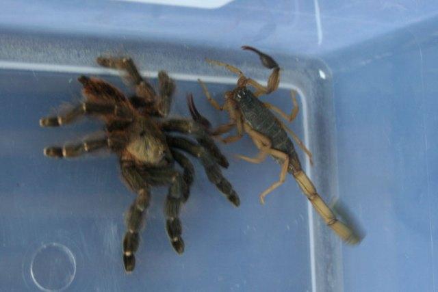 tarantula scorpion