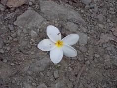 Costa Rica Plumera flower