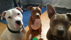 Three fighting pitbulls...Finn, Isis, and Tyre have quite a few triggers but we put some structure in place and their owner has been doing great!