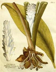 Turmeric, Scientific Drawing
