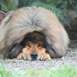 Tibetan Mastiff History Lore And Modern Living Pure Dog Talk