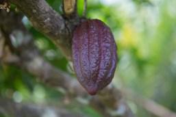 Cocoa plantation –Pure Flores Tours