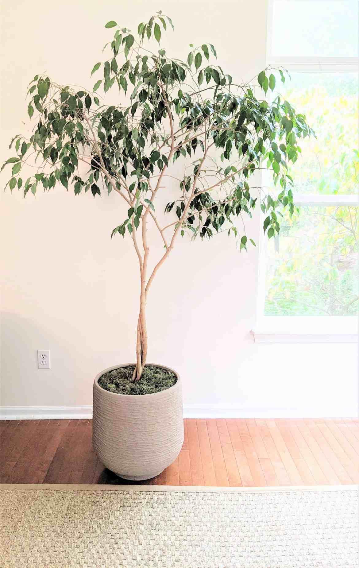 ficus tree after new pot
