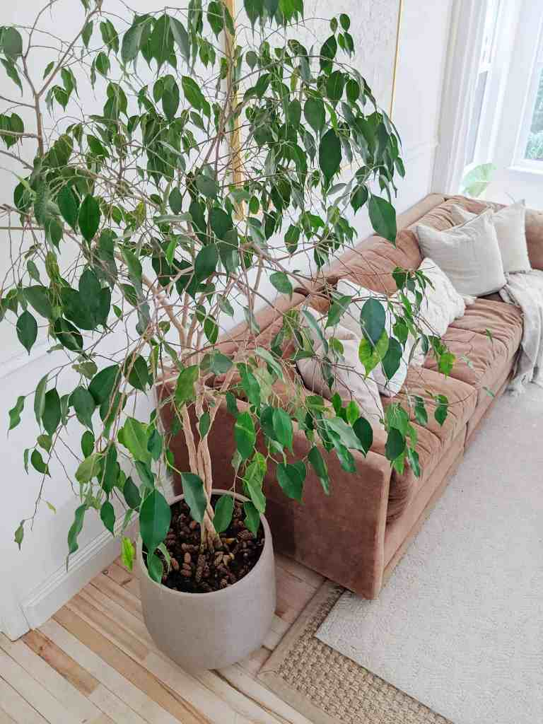 ficus tree and sofa