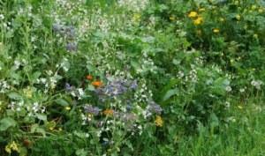 Wilde bloemen in Nederland - Bloemen weide