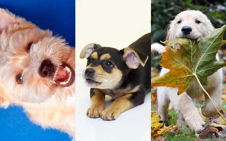 Playful Puppies theme for Windows 780_wide