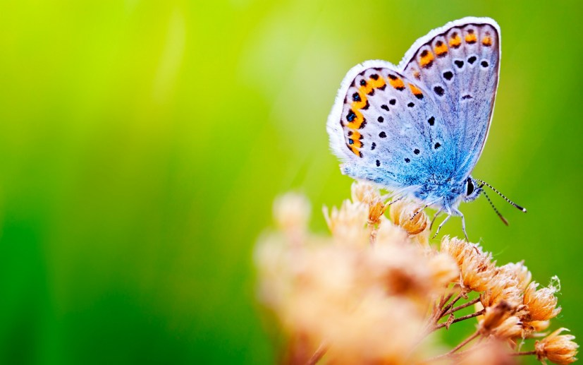 Butterfly theme for Windows 10