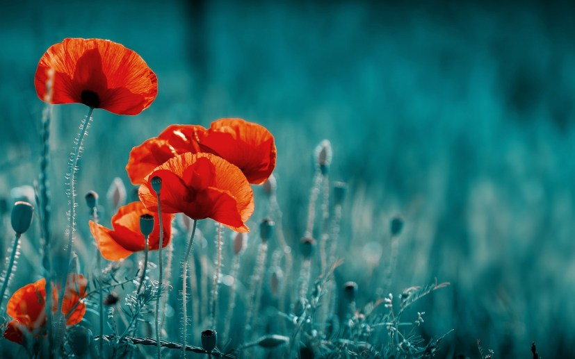 Field Of Poppies themes for Windows 10