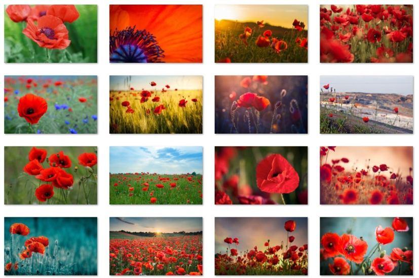 Poppies flowers wallpapers sample