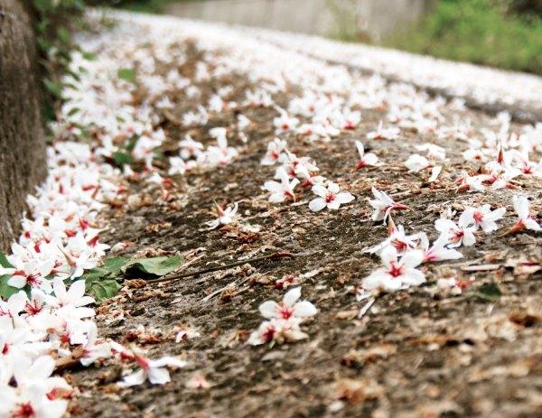 台灣客家 桐花祭